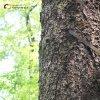Žlutice - obraz Čtrnácti sv. pomocníků | detail uchycení dřevěné desky s vyobrazením Čtrnácti sv. pomocníků železnými pásy na kmenu smrku - červenec 2016