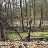 Chyše - hradiště | vnitřní plocha vlastního hradiště na ostrožně zarostlá smíšeným lesem - březen 2016