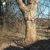 Žalmanov - Pauscherův kříž | zchátralý Pauscherův kříž mezi dvojicí mohutných javorů na severovýchodním okraji vsi Žalmanov - březen 2017