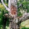 Doupov - kaple Panny Marie Pomocné (Buková kaple) | mohutný dub se svatým obrázkem na místě bývalé kaple koncem 20. století