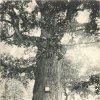 Dalovice - Körnerův dub | Körnerův dub v zámeckém parku na historické pohlednici z roku 1900