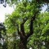 Dalovice - Körnerův dub | památkově chráněný Körnerův dub v dalovickém zámeckém parku - červen 2011