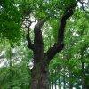 Dalovice - Körnerův dub | chráněný Körnerův dub - květen 2009
