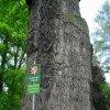 Dalovice - Körnerův dub | kmen připomínající sloní nohu - květen 2009