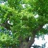 Dalovice – Duby u tvrze | největší z dubů z pohledu ze dna tvrze - květen 2009