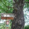 Drahovice - Buk u Harta | spirálově stočený kmen - červen 2009