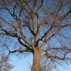 Olšová Vrata – Lípa u křížku | památný strom s barokním podstavcem křížku - prosinec 2009