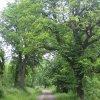 Tocov (Totzau) | kaštanová alej při průjezdní silnicí zaniklou vsí - červen 2009