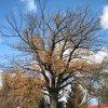 Počerny - Počerenský dub | památný dub v Počernech - listopad 2009