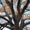 Počerny - Počerenský dub | koruna památného stromu - listopad 2009