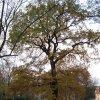Drahovice – Mozartův dub | Mozartův dub v Drahovicích - říjen 2009