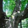 Popov - Horní popovská lípa | detail kmenu památné lípy - květen 2009
