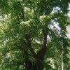 Popov - Dolní popovská lípa | Dolní popovská lípa - květen 2009