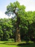Dalovice - Körnerův dub |