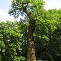 Dalovice - Körnerův dub