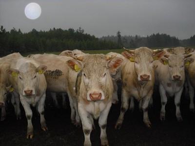 17.-21. místo: Maky Burkytová - stádo krav u Dobré Vody (červen 2009) - 26 hlasů
