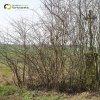 Chlum - Knappenský kříž | zchátralý Knappenský kříž zarostlý v hustých náletových křovinách v polích u Chlumu - duben 2016