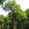 Dalovice - Körnerův dub | chráněný Körnerův dub - červen 2011