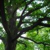 Dalovice - Zámecký dub | koruna Zámeckého dubu - květen 2009