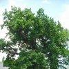 Dalovice - Duby u tvrze   dva ze tří dubů rostoucích na tvrzišti - květen 2009