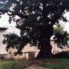 Dalovice – Duby u tvrze   památný dub nad zbytky dalovické tvrze - říjen 2008