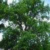 Dalovice – Duby u tvrze   druhý dub na tvrzišti - květen 2009