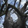 Drahovice - Buk u Harta   koruna památného stromu - únor 2010