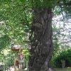 Drahovice - Buk u Harta   upravené okolí památného stromu - červen 2009