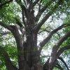 Drahovice - Buk u Harta   koruna památného stromu - červen 2009