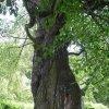Drahovice - Buk u Harta   lahvovitý kmen stromu - červen 2009