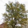 Drahovice - Dub moudrosti | Dub moudrosti v Drahovicích - říjen 2009