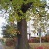 Drahovice - Dub moudrosti | kmen památného stromu - říjen 2009