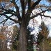 Počerny - Počerenský dub | kmen památného stromu - listopad 2009