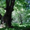 Popov - Popovská bříza | Popovská bříza roste přímo za Horní popovskou lípou - květen 2009