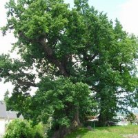 Dalovice - Duby u tvrze