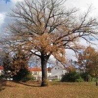 Počerny - Počerenský dub