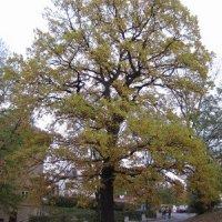 Drahovice - Mozartův dub